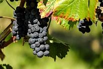 Blauwe druiven aan rank