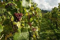 Wijngaard met druiven